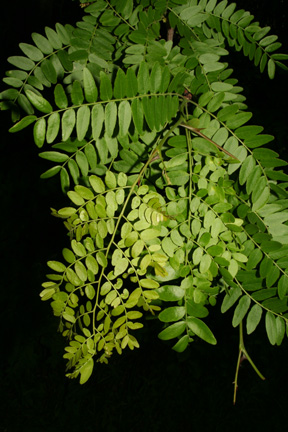 What Will I Look Like When I Grow Up >> The Honey Locust – My Favorite Tree